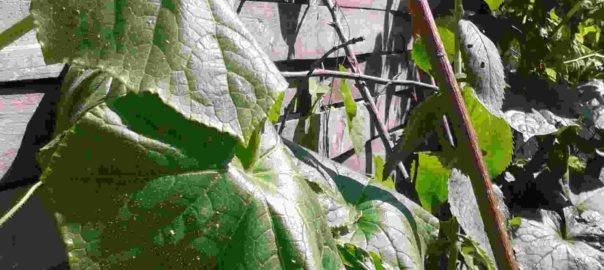 Gurkenpflanze mit hängenden Blättern